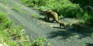 Kış uykusundan uyanan göçmen boz ayılar uydu vericileriyle takip ediliyor