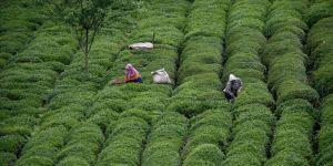 Trabzon'a çay hasadı için gelecekler kentten 30 gün ayrılamayacak