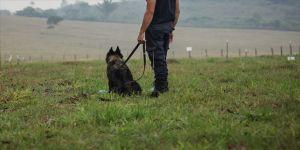 İngiltere'de köpekler Kovid-19'u koklayarak teşhis etmeleri için eğitilecek