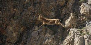 Koruma altındaki yaban keçileri Kırkmerdiven Vadisi'ni mesken tuttu