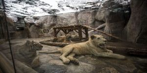 Metropolün 'vahşi kedileri'ne pandemi sürecinde hassas bakım