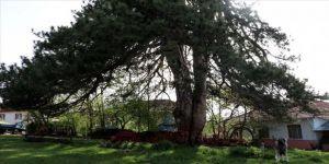 870 yıllık 'Bayram Çamı' en sessiz bayramını geçiriyor
