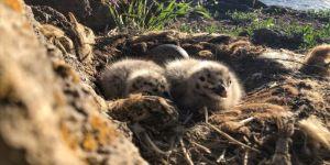 Balık Gölü Doğu Anadolu'daki martıların yuvası oldu