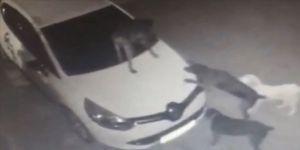 Park halindeki otomobile saldıran köpekler tamponu kopardı