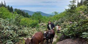 Doğu Karadeniz'de yaylacıların zorlu yolculuğu