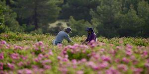 'Gül kokulu' köyün geçim kaynağı gül yağı Avrupa'dan ilgi görüyor