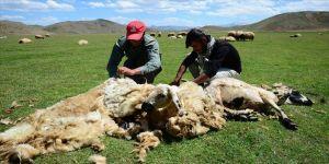 Besicilerin yaylalardaki koyun kırkma mesaisi başladı