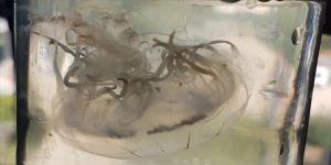 Antalya'da deniz anası türü bulundu