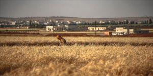 İdlib'de saldırı ve göç buğday hasadını olumsuz etkiledi
