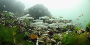 ''Körfez'e 6 bin yavru balık daha bırakacağız''