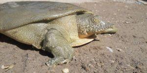 Adıyaman'da nesli tükenme tehlikesi altında olan Fırat kaplumbağası görüldü