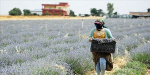 Suriye sınırındaki çiftçilerin kazancı lavantadan