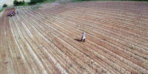 Lezzetini Istranca Dağları'ndan alan fasulye binbir emekle yetiştiriliyor