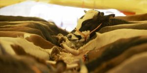 Kurban Bayramı öncesi mezbahalara 'koronavirüs' ayarı