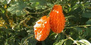 ÜLSERE ŞİFA : Kudret narı yağı