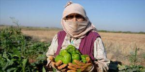 Kilisli çiftçilerin 'acı' hasadı başladı