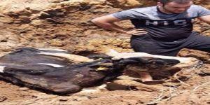 Gebze'de Bataklığa saplanan inek iş makinesiyle kurtarıldı