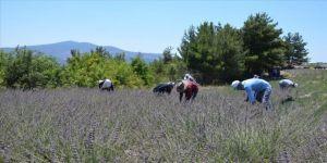 Manisa'da lavanta bahçelerinde hasat başladı