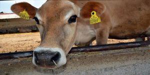 Amasya'daki Gökhöyük Tarım İşletmesinden jersey ırkı sığır atağı