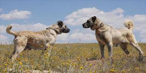 Kangal köpeklerine çipli takip
