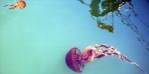Türkiye'de denizanası kaynaklı yaralanmalar artıyor