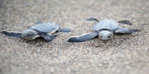Yavru deniz kaplumbağalarının Mersin kumsallarında zorlu yaşam yolculuğu