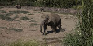 Türkiye'de doğan ilk fil 3 tona ulaşarak yetişkinliğe adım attı