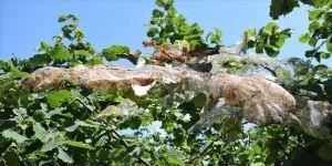Fındık üreticilerine 'Amerikan beyaz kelebeği' ile mücadele çağrısı