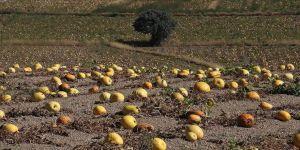 Çerezlik kabak tarlaları 'sarı gelinliği'ni giydi