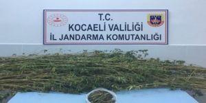 Kocaeli'de ormanlık alanda 371 kök kenevir