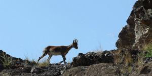Erzurum'da sürü halinde yaban keçileri görüntülendi