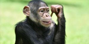 Yaşlanan yabani şempanzeler eski dostlarını yenilere tercih ediyor