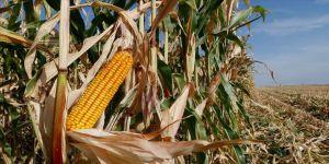 GAP'ın başkenti Şanlıurfa'da mısır hasadı bereketli başladı