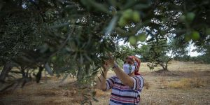 Antalya'da zeytin bahçelerinde hasat hareketliliği