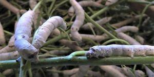 Bilecik'te ipek böceğinin 45 günlük dönüşümü kayıt altına alındı