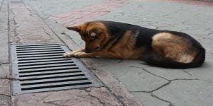 Mazgal köpek caddenin demirbaşı oldu