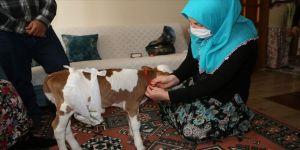 Bakan Pakdemirli'den prematüre buzağı 'Mülayim'e' altın hediyesi