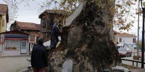 Bin 230 yıllık çınar ağacının bakımı yapıldı
