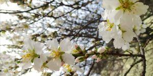 Edirne'de artan hava sıcaklığına aldanan bazı meyve ağaçları çiçek açtı