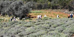 Bilinçli tarımla üretilen tıbbi ve aromatik bitkiler çiftçiye gelir sağlayacak