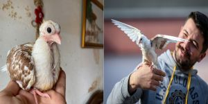 Ölmek üzereyken kurtarılan güvercin 'Zibidi' kanat çırpmaya başladı