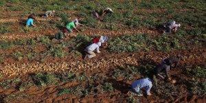 Gazzeli çiftçiler İsrail saldırılarının ardından buruk bir hasat dönemi geçiriyor