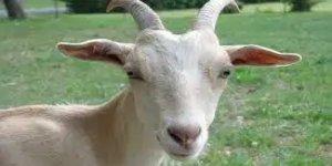 Mağaraya düşen keçi için zorlu kurtarma operasyonu