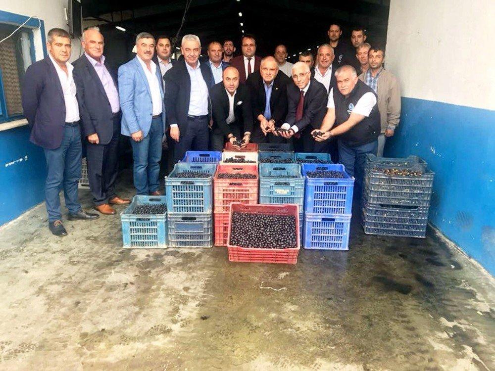 Mudanya Zeytin Kooperatifi Zeytin Alımlarına Başladı