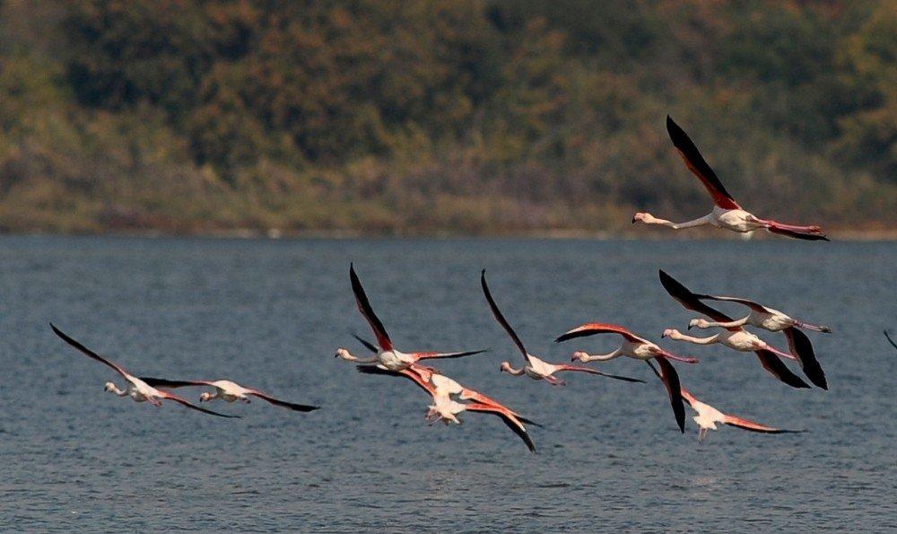 Flamingolar Türkiye'yi Sevdi