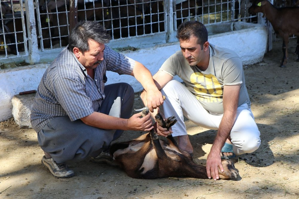 Verimi Arttırmak İçin Keçilere Pedikür Yapıyorlar
