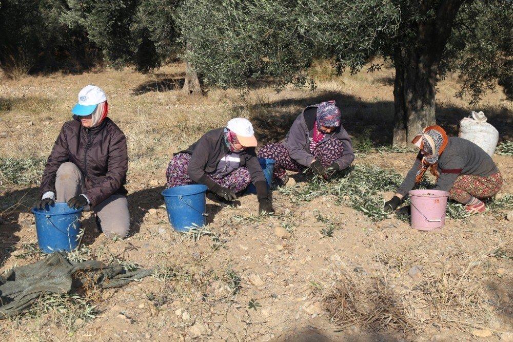 Burhaniye'de Belediye Zeytin Hasadına Başladı