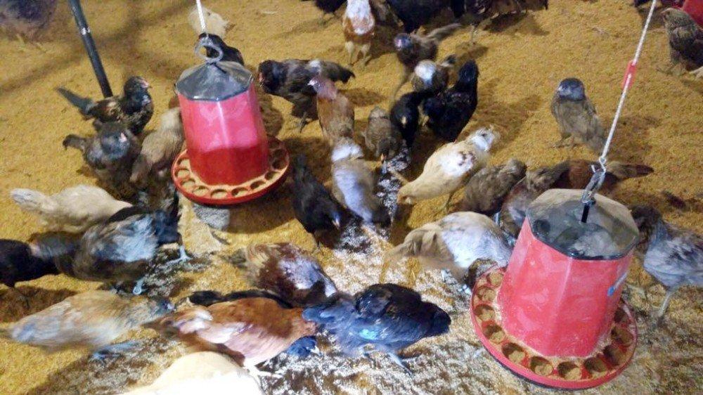 Dünyanın En Büyük Mavi Yumurta Damızlık Tesisi Sakarya'da Açıldı
