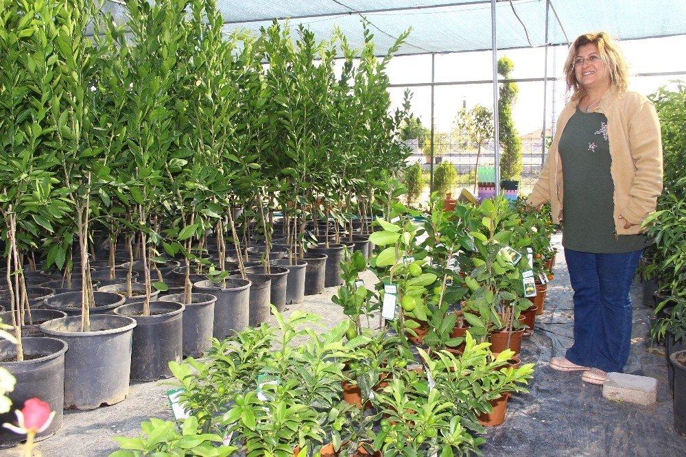 Kışın Da Bahçeyi Pencerenize, Balkona Getirebilir, Mandalina, Limon Yetiştirebilirsiniz