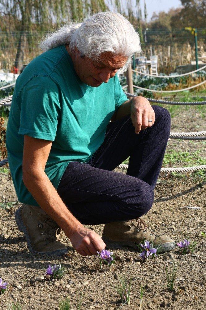 Kent Bostanları'nda Safran Yetiştiriliyor